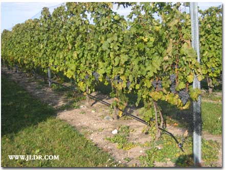Grapes ready to be picked from the vine